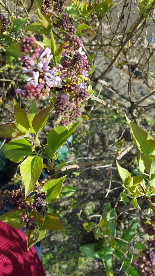breeding lilacs out of the dead ground
